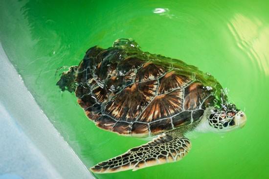 Mai Khao Turtle