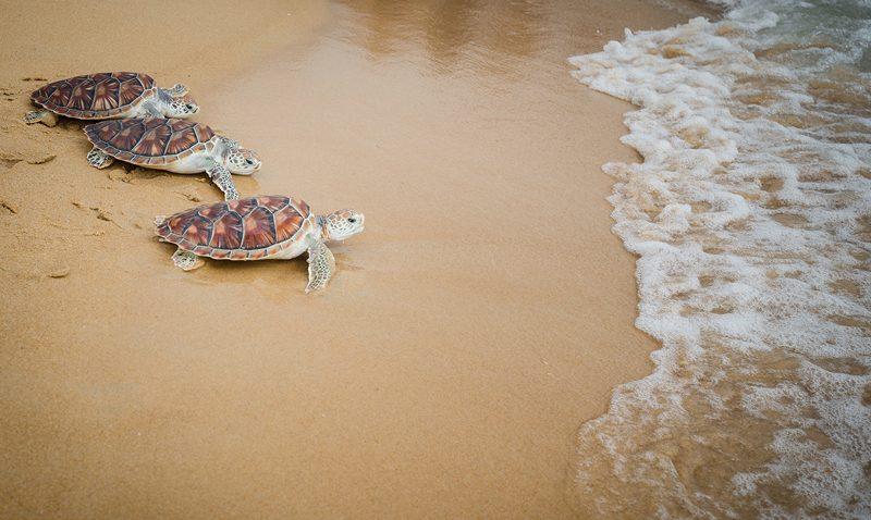 """มูลนิธิเพื่อการอนุรักษ์เต่าทะเล หาดไม้ขาว จัดงานประจำปี """"ปล่อยเต่าทะเลคืนสู่ธรรมชาติ ครั้งที่ 9"""""""